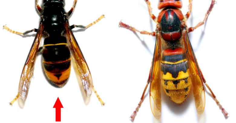 Photo of Rappel de la réglementation : Le frelon asiatique